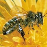 Insektengift-Allergie